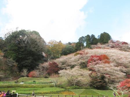 11/25四季桜3