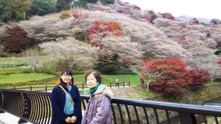 11/25四季桜5