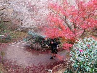 11/25四季桜6