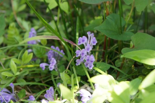 タツナミ草2