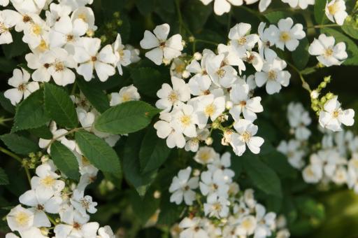 白いバラ2