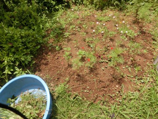 向日葵畑の除草