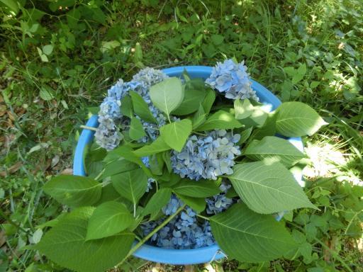 紫陽花の剪定2