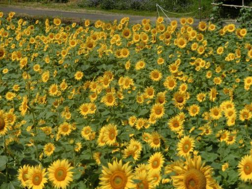 畑向日葵2