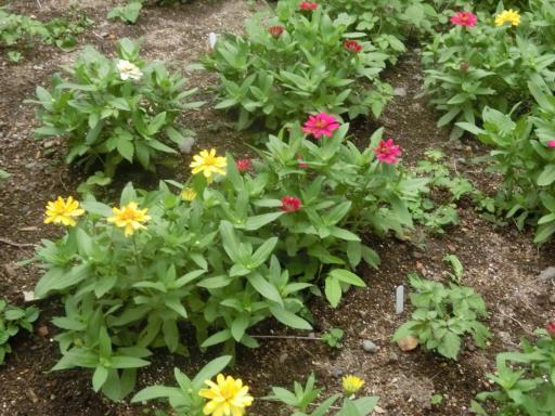 花壇のジニア1