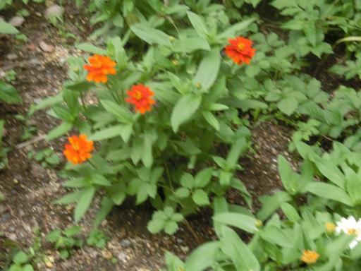 花壇のジニア2