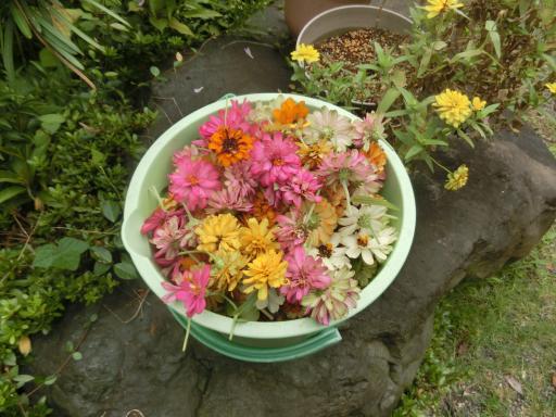 ジニアの花がら