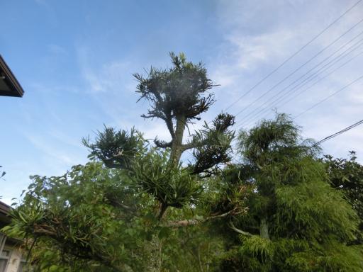 槇の木の剪定1