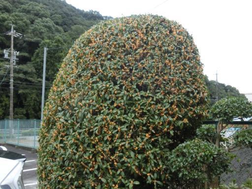 テニスクラブの金木犀