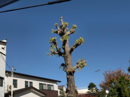 街路樹の公孫樹