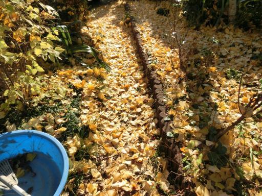 公孫樹の落ち葉