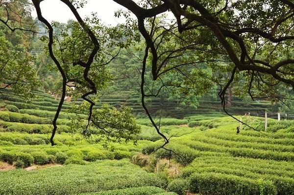 秋の茶園1