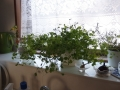 窓辺の豆苗