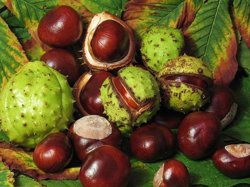 Aesculus_hippocastanum_fruit-2.jpg