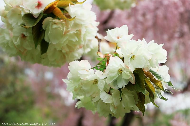 DSCF6515鬱金桜