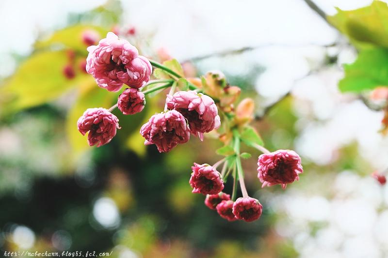 DSCF6523梅護寺数珠掛桜