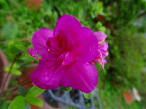 紫慕情DSC01359