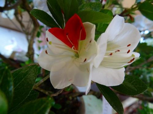 白い花かざりDSC01861