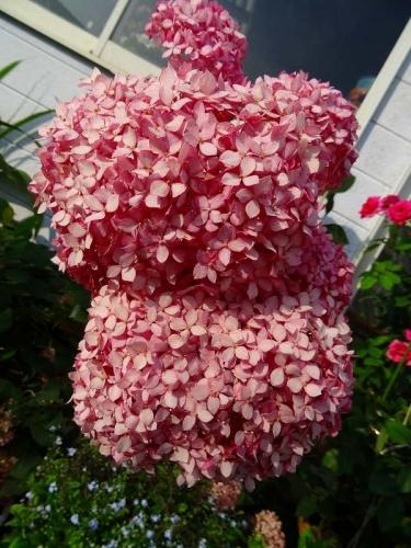 ピンクのアナベルDSC02198
