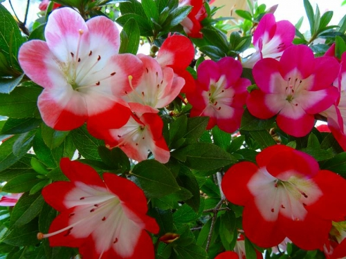 紅子(2色咲き)DSC02070
