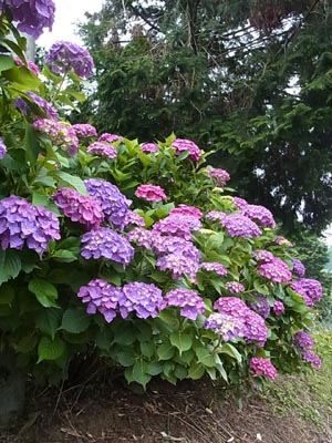 紫陽花2016