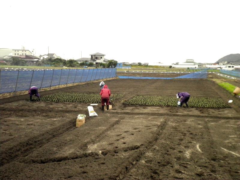 南海荘レディースが丹精込めて植えます