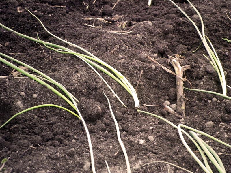 玉ねぎの苗は寝かせて植えます