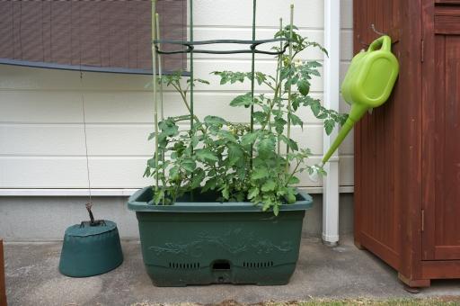 家庭菜園 パクチー