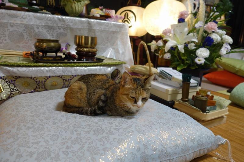 お坊様布団に座る猫