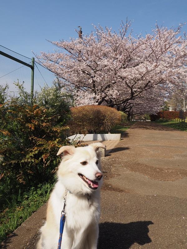h28,4お花見井草の森2