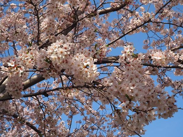 h28,4お花見井草の森満開