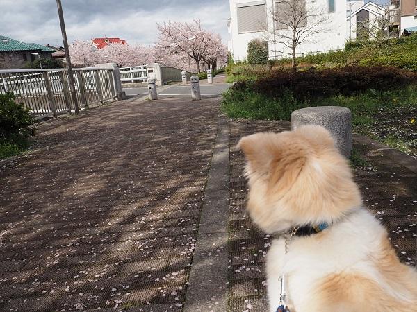 h28,4お花見桜の絨毯2