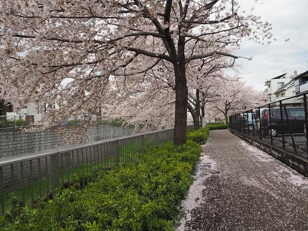 h28,4桜の絨毯2
