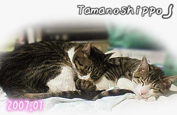 仲良く寝る猫(たまとちび)くっついて寝たら温かいね^^