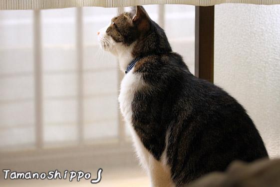 網戸越しにお外を眺める猫(ちび)
