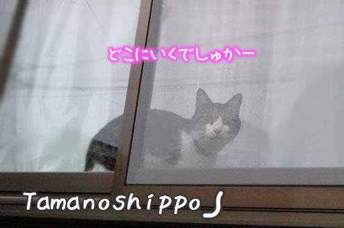 窓辺からお外を眺める猫(ちび)