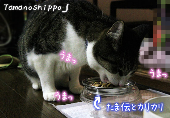 たま伝とカリカリの混ぜご飯を食べる猫(ちび)