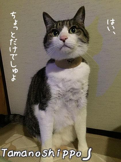 ポーズを取る猫(ちび)首長族風