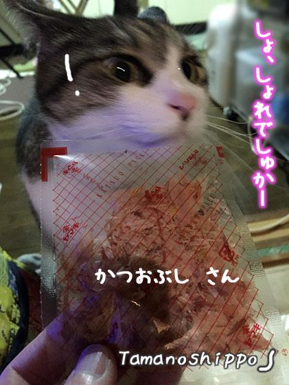 かつお節に興味深々の猫(ちび)