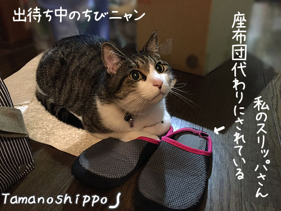 スリッパを座布団代わりにして座る猫(ちび)お風呂の出待ち