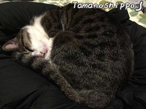 ダウンの上で丸くなって寝る猫(ちび)