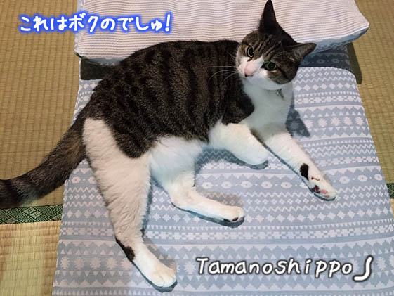 人間用ひんやり冷感座布団に陣取る猫(ちび)