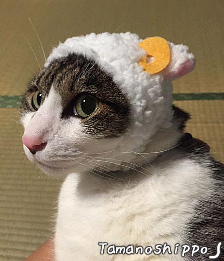 ひつじのかぶりものを被った猫(ちび)横顔