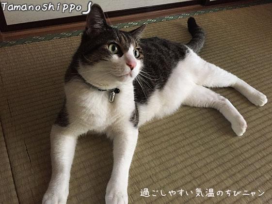まったり寛いでいる猫(ちび)畳の上で