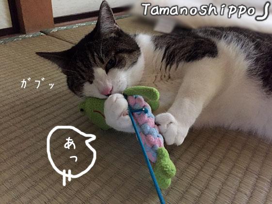 カエルさん(デンタルおもちゃ)と遊ぶ猫(ちび)