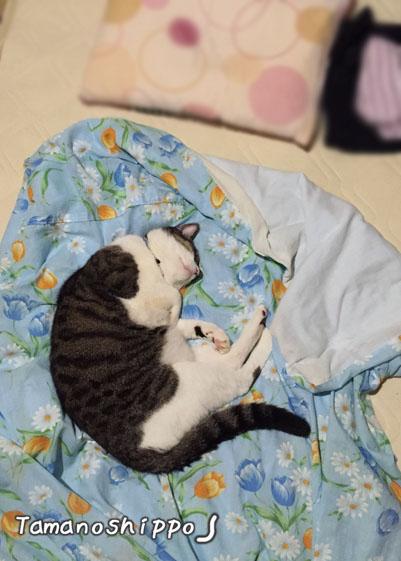 同居人のお布団を横取りする猫(ちび)