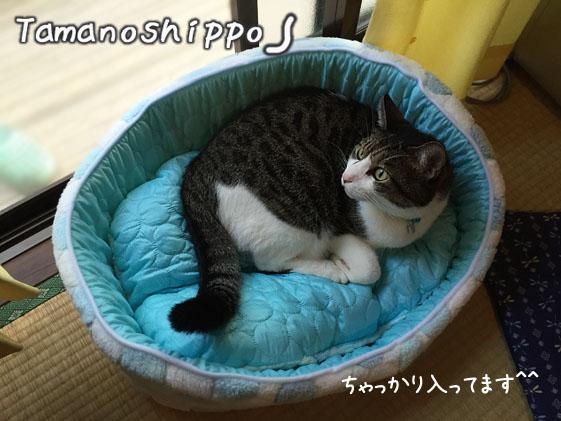 猫ベットの隅で小さくなる猫(ちび)NEWベット