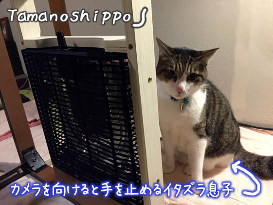 NEWコタツの組み立てを見守る猫(ちび)イタズラ猫