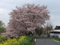 桜20161