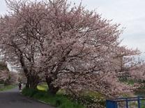 桜20162